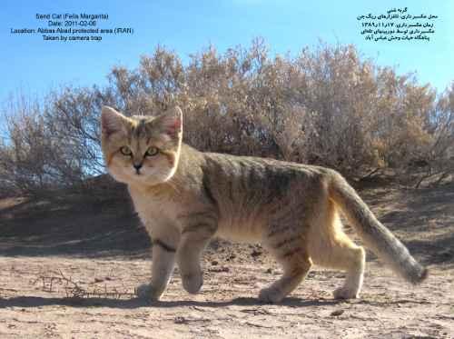 گربه شنی پیرامون چوپانان در زیستگاه عباس آباد